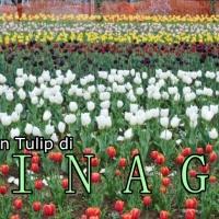 Ingin Melihat Keindahan Kebun Tulip? Ke India Saja!
