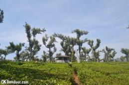Kebun teh di Munnar, Kerala